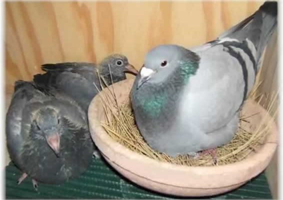 Chris Smith's Pigeon Racing Health Program