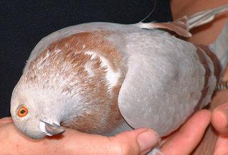 Pigeon Disease - PMV Pigeon Paramyxovirus