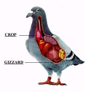 Slow Crop in the Racing Pigeon