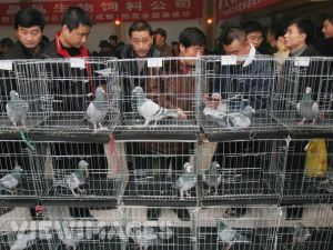 Pigeon Buying Guide Part 1