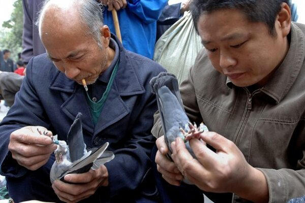 Pigeon Buying Guide Part 2