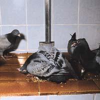 Paramyxovirus in racing pigeons