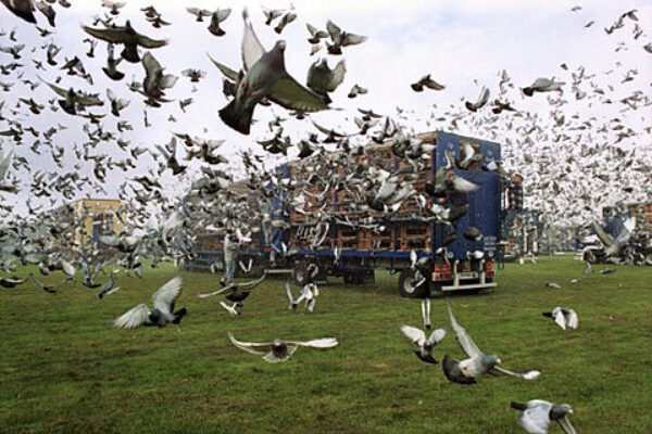 Pigeon Racing and Nutrition of the Muscle Part 4
