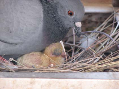 March in the Loft - Winning Pigeon Racing and Racing ...