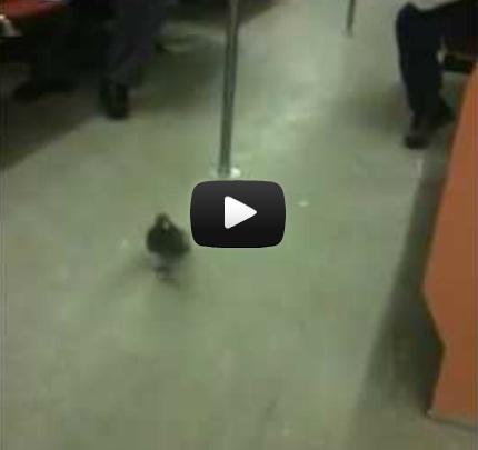 The Cheating Racing Pigeon