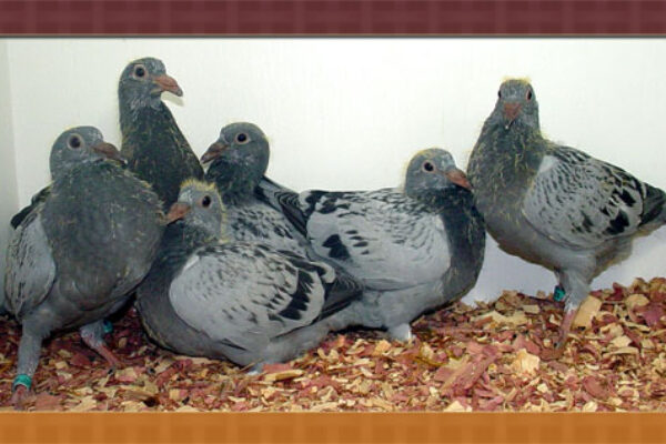Young Bird Season Preparation and Season Maintenance