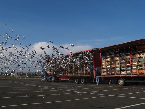 Pigeon Loft - Healthy Pigeons Win Races