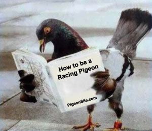 """Racing Pigeon School"""