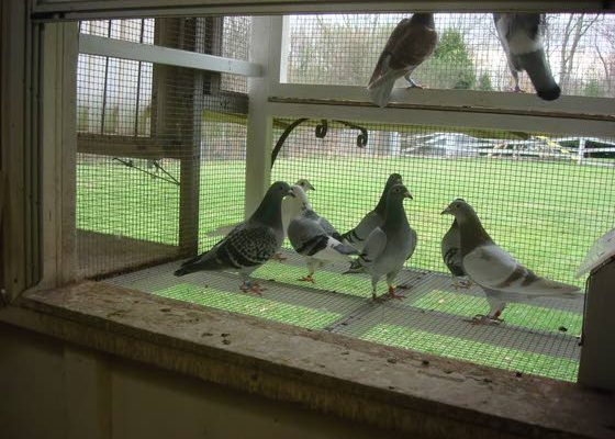 Buying Pigeons? Do Your Homework First (Part 1)