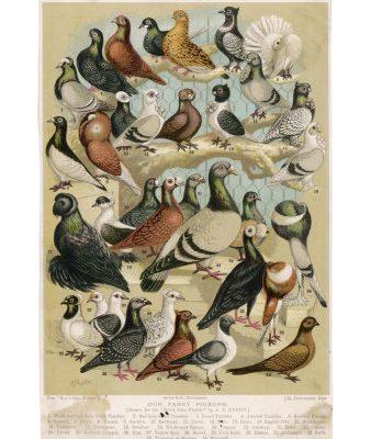 Varieties of Pigeons