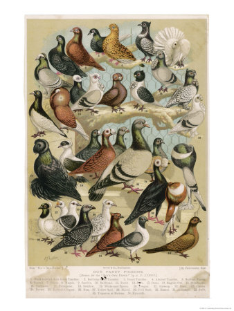Varieties of Pigeons
