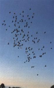 Culling Weak Racing Pigeons