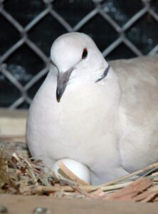 Pigeon Egg Incubation