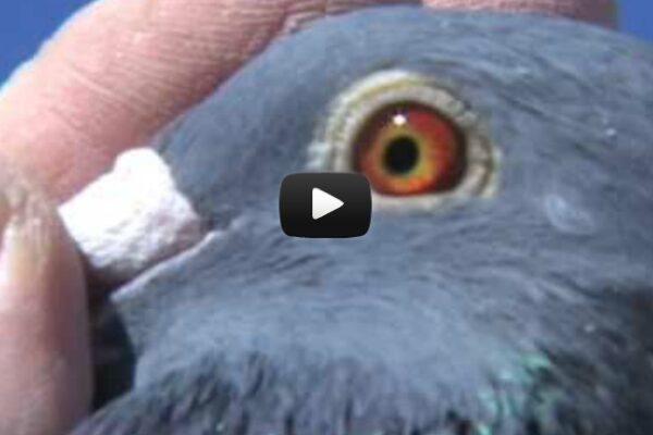 *Video* Evaluating EyeSign in Pigeons