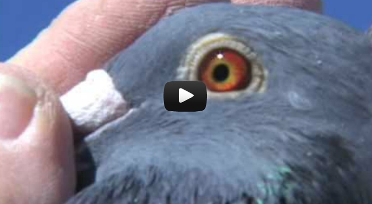 *Video* Evaluating EyeSign in Pigeons