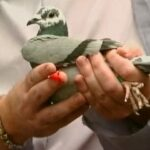 "Healthy Pigeons Win Races Part 4 ""A Realistic Health Program"""