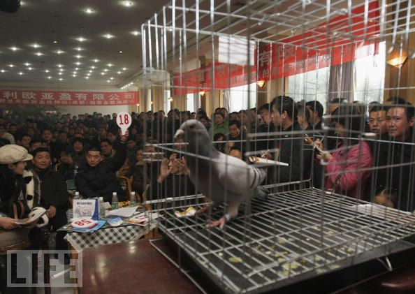 Pigeon Auction Helpful Tips (part 2 of 3)