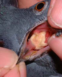 Pigeon Diseases - Canker