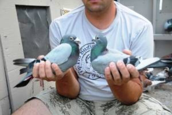How to Pair Your Pigeon Breeders—Part 1