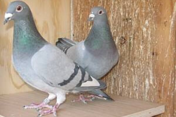 How to Pair Your Pigeon Breeders—Part 2