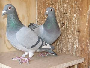 How to pair racing pigeons part 2