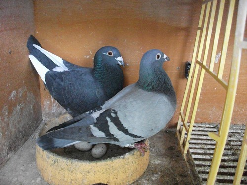 Pairing breeding racing pigeons part 3