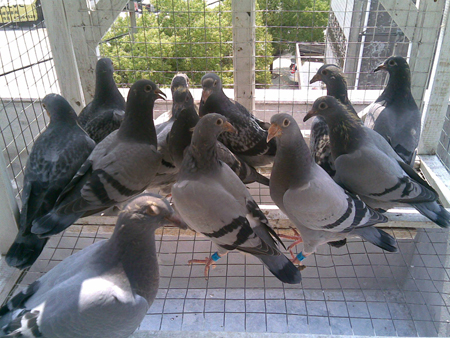 Pigeon Racing Natural System