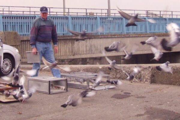 Panting in Racing Pigeons – When Is It Normal and When Is It Not, Part 3
