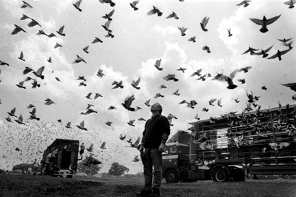 Tribute to Pigeon Racing