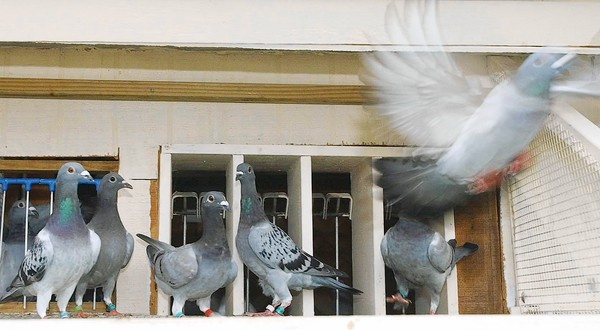 Racing Pigeons on the Widowhood System