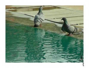 https://www.pigeonracingpigeon.com/wp-content/uploads/2011/04/pigeon-water-pool-bird-thirst-300x232.jpg