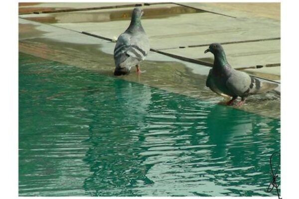 Panting in Racing Pigeons – When Is It Normal and When Is It Not, Part 4