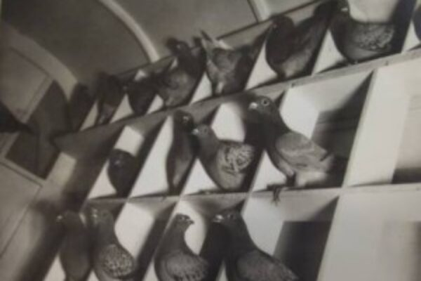 Pigeon Racing – A Number's Game? (Part 2)