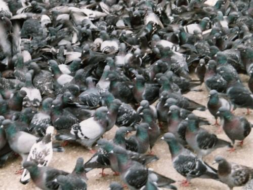 Pigeon Racing – A Number's Game? Part 1