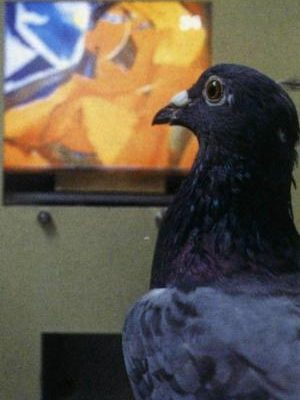 Pigeons Show Superior Self-Recognition Abilities To Three Year Old Humans