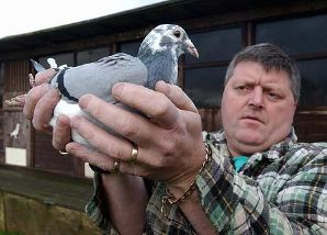 Pigeon Racing Selecting Breeders