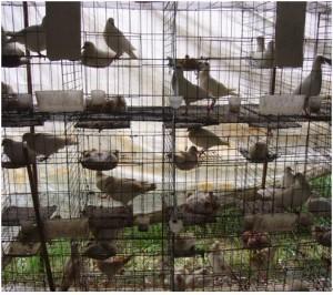 Understanding Pigeon Breeding and Genetics