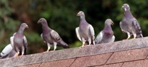 Pigeon Racing Magic Formula