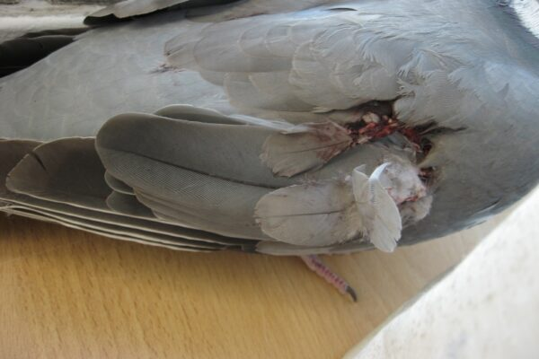 Classifying Injuries in Racing Pigeons
