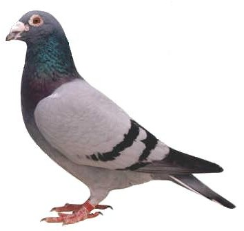 Condition and Form In Racing Pigeons