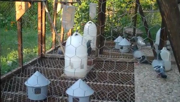 Care of Pigeon Breeders at End of Breeding Season