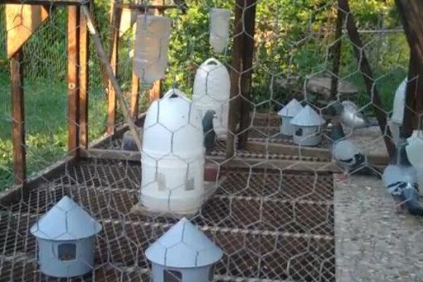 Care of Pigeon Breeders at End of Breeding Season