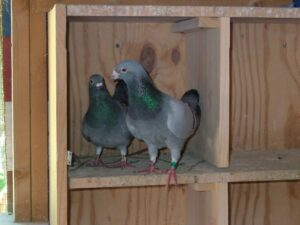 Pigeon Racing Essentials