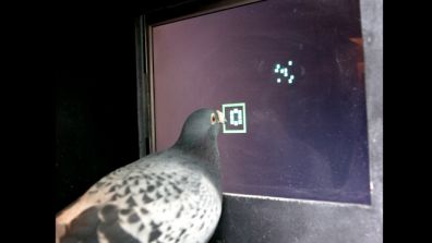 Are Pigeons as Smart as Monkeys?