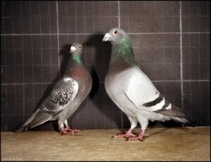 جنسیت در کبوترهای مسابقه