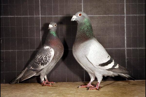 Sexing Racing Pigeons