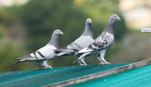 Racing Pigeon Systems The Pros and Cons