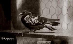 cher-ami-war-pigeon