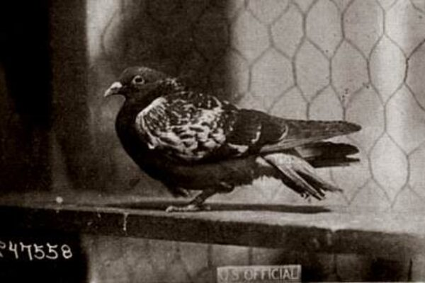 The Heroic Story of Cher Ami