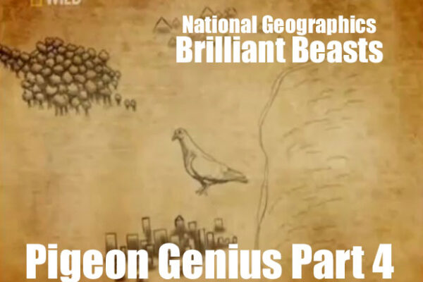 Brilliant Beasts: Pigeon Genius Part 4/4
